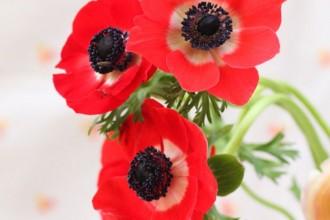anemone-682x10242