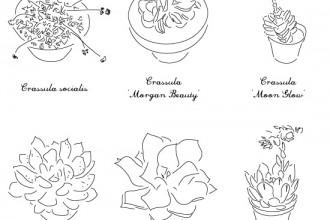 plantes-succulentes-plumetis3