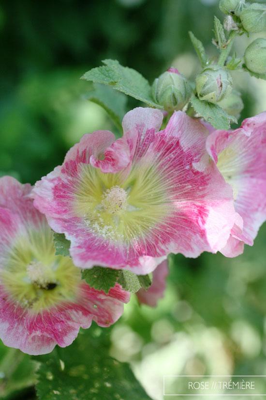 rose trémière plumetis