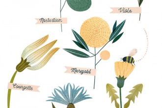 An-illustrated-guide-to-edible-flowers-clareowen