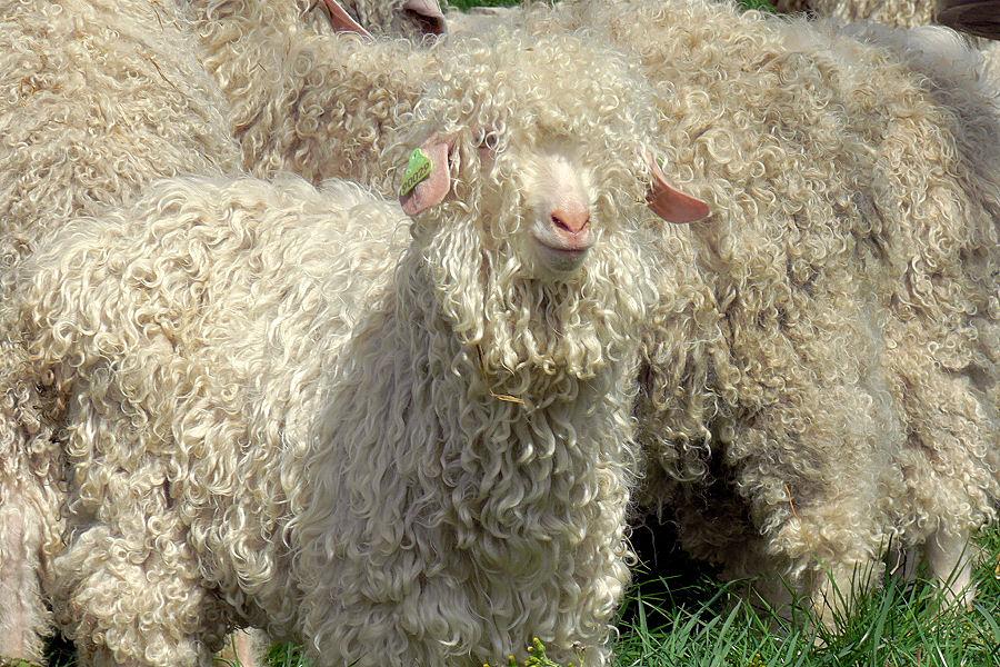 Chèvres angora // Mohair en Provence