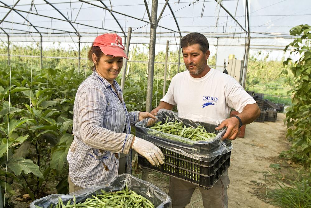 Agriculteurs préparant des haricots verts pour le transport