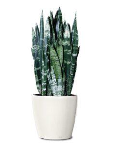 black-coral-snake-plant-small-ornamental-plantl-sanseviera-black-coral-realornamentals-com-web