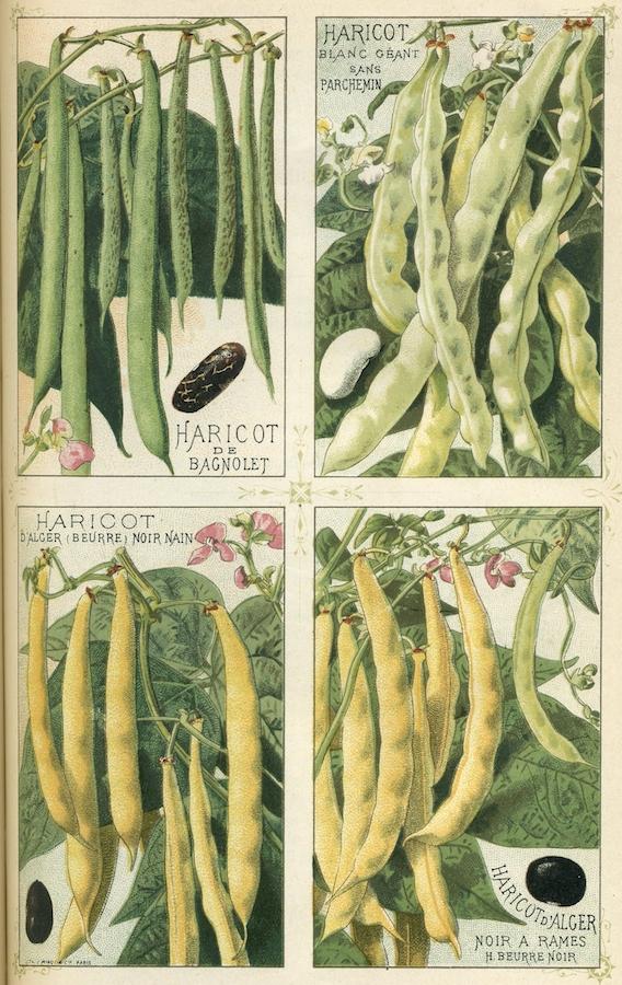 Haricots_-_Plantes_potagères_Vilmorin-Andrieux_et_Cie
