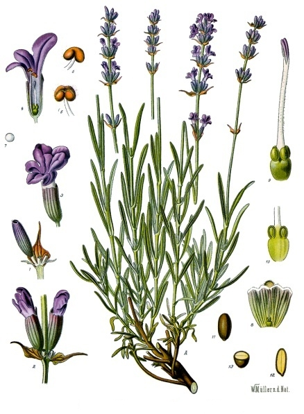 Lavandula_angustifolia_-_Köhler–s_Medizinal-Pflanzen-087