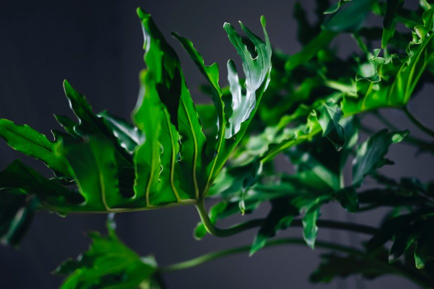 Philodendron • Photo Shiro Yamamoto // Unsplash