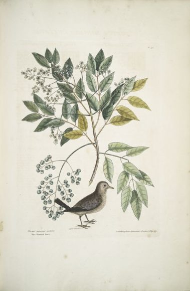 Rare Book Division, The New York Public Library. (1754). Turtur minimus guttatus, The Ground Dove; Zanthoxylum spinosum Lentisci foliis, &c., The Pellitory, or Tooth-ach Tree.