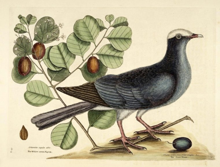 Birds from The Natural History of Carolina, Florida, and the Bahama Islands (1754), by Mark Catesby and George Edwards.